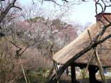 百草園春-3