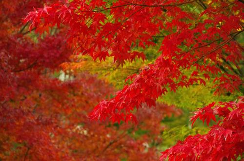 昭和記念公園紅葉201211-7