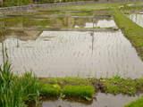 田んぼ200806-4