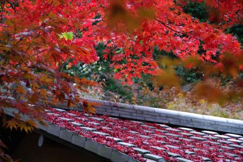 百草園紅葉201011-1