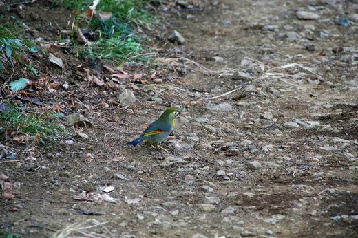 きれいな鳥2