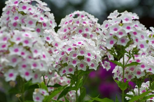 昭和記念公園201107-5オイランソウ