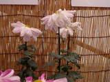 菊まつり変り花-10