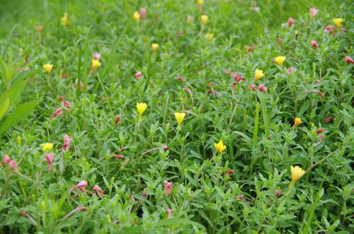 河川敷の花201207-9