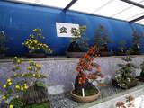 品評用菊-2盆栽