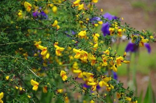 散歩道の花(5月)2012-1