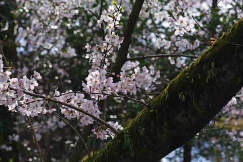 高幡不動尊桜201004-4