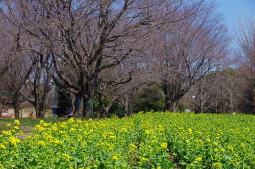 昭和記念公園201403-4