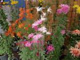 菊まつり変り花-4