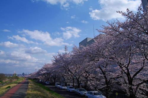 多摩川河川敷桜2010-3