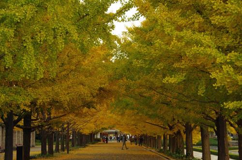 昭和記念公園イチョウ並木201211-6