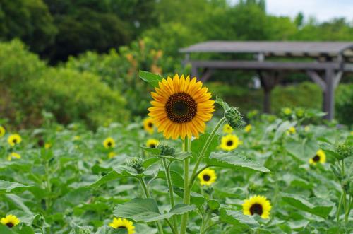 昭和記念公園201107-12ヒマワリ