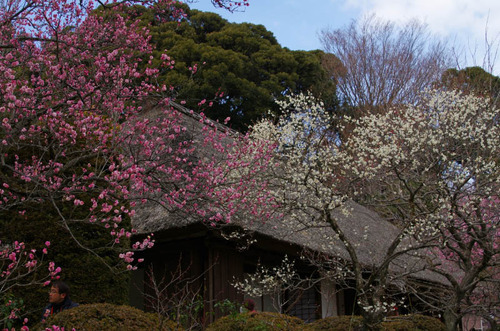 京王百草園201303-13