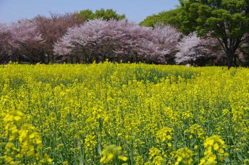 昭和記念公園菜の花と桜201104-3