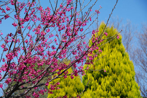 昭和記念公園20100314-14