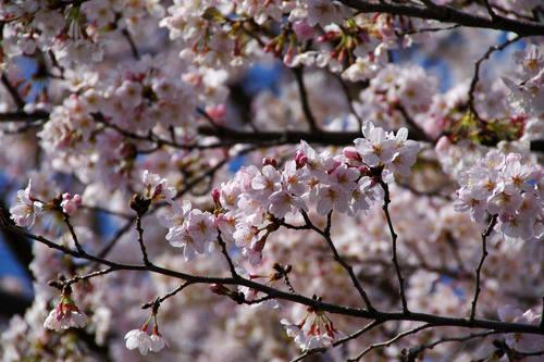 多摩川河川敷桜2010-6