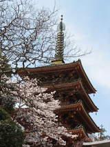 桜と五重塔UP(3/29)