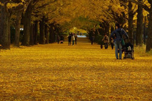 昭和記念公園イチョウ並木201211-4