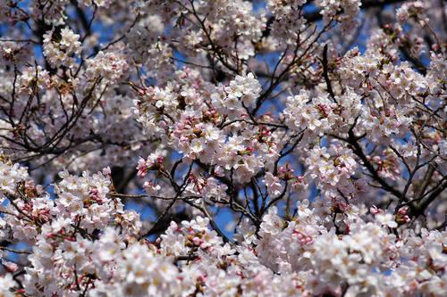多摩川河川敷桜2010-8