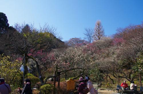 百草園梅まつり201102-1