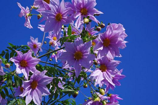 散歩道の花200912-ダリア2