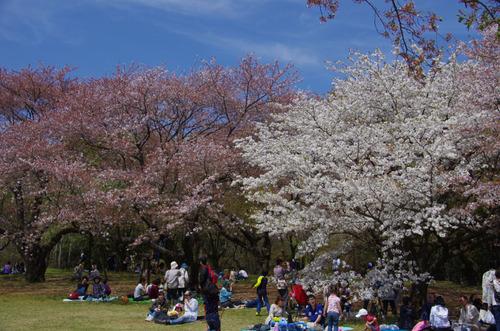 昭和記念公園菜の花と桜201104-11
