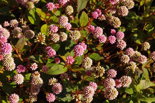 散歩道の花200912-ヒメツルソバ3
