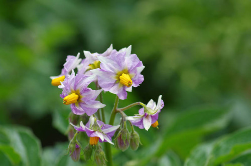 散歩道の花(5月)2012-11
