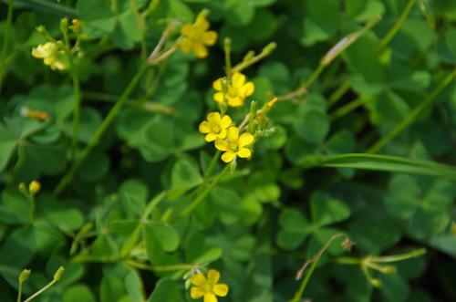 散歩道の花201210-6カタバミ