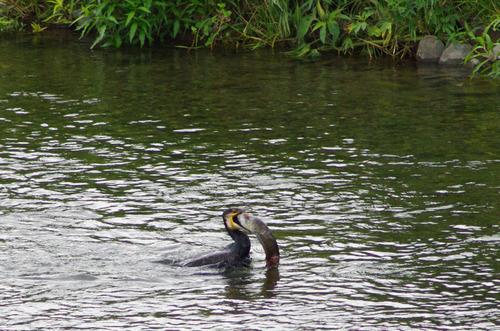 梅雨時の鳥たち2011-3