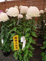 菊まつり受賞-2