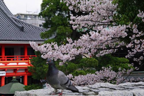 高幡不動尊桜201004-8