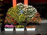 菊まつり飾り-11