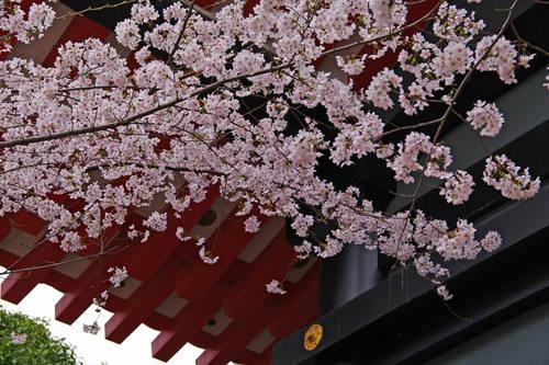 高幡不動尊桜201004-3
