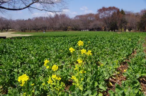 昭和記念公園201103-7