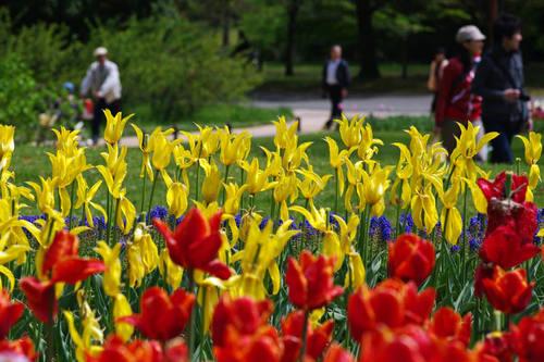 昭和記念公園チューリップ201004-12