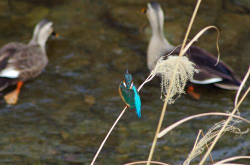 散歩道の野鳥201301-3