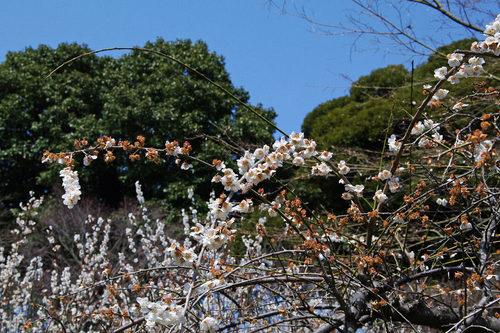 百草園梅まつり201003-6