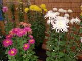 菊まつり変り花-3