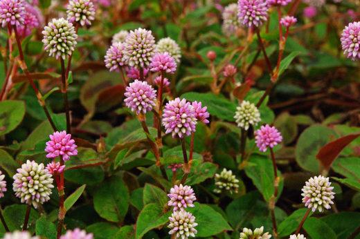 散歩道の花200912-ヒメツルソバ6