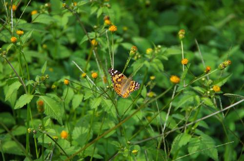 散歩道の花201210-4コセンダングサ