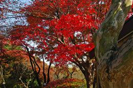 百草園の紅葉-S12