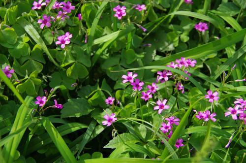 散歩道の花201210-5イモカタバミ