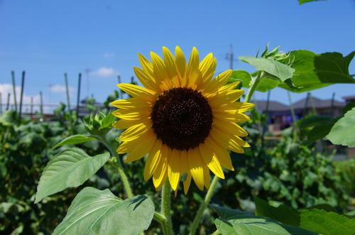 夏の花201107-9