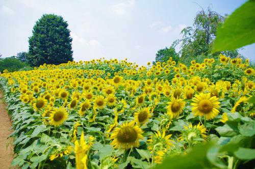 昭和記念公園201308-9