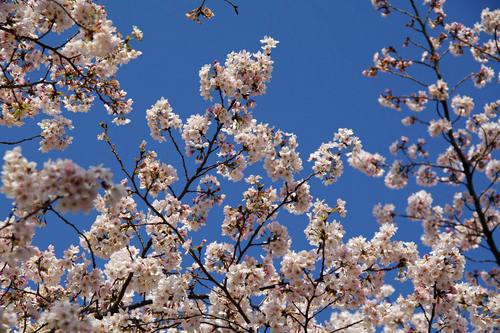 多摩川河川敷桜2010-5