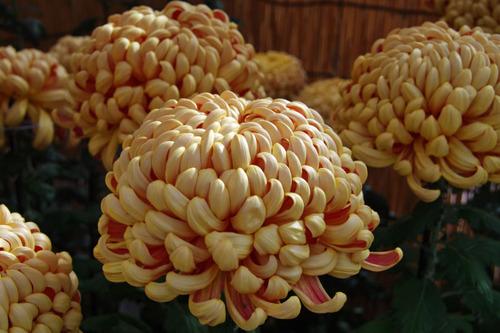 菊まつり2010-9