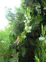 緑のコンペイトウ-4