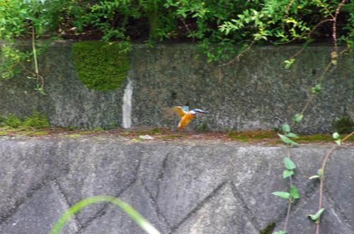 散歩道の鳥たち2013-8