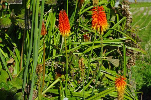 散歩道の花200912-トリトマ5